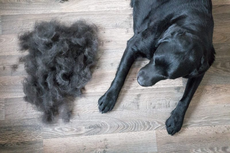 Dealing with Labrador Retriever Shedding - Labrador Central